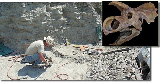 Avaceratops local da descoberta e fossil