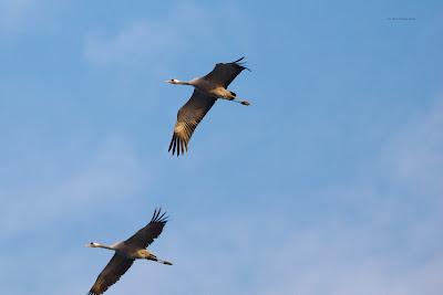 Zwei Altvögel im Flug