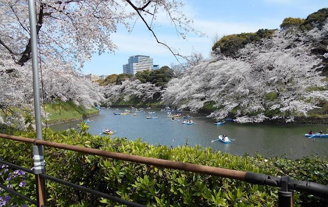 千鳥が淵の桜とボート3