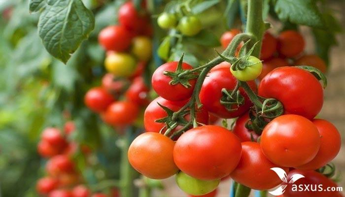 15 Cara Menanam Tomat di Pot atau Polybag Yang Baik dan Benar