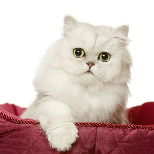 Keistimewaan dan Fakta Ilmiah Tentang  Kucing