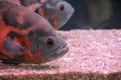 ikan predator oscar