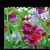 Đậu biếc (Sweet Pea, Lathyrus odoratus,LAT00116)