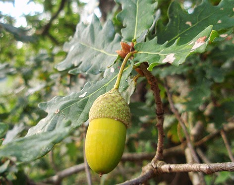 Cagiga (Quercus robur)border=