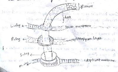 flagella,flagella rotation,flagellamoment