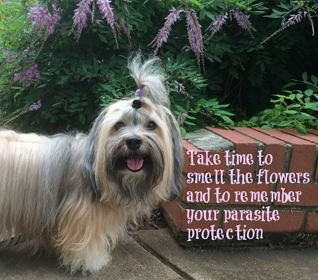 Reminder for Sentinel Spectrum heartworm and flea protection #SentinelSpectrum