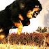 """Chó già yếu cắn chết chó ngao Tây Tạng hung dữ: """"trước khi bị trụi lông thì nó là…"""""""