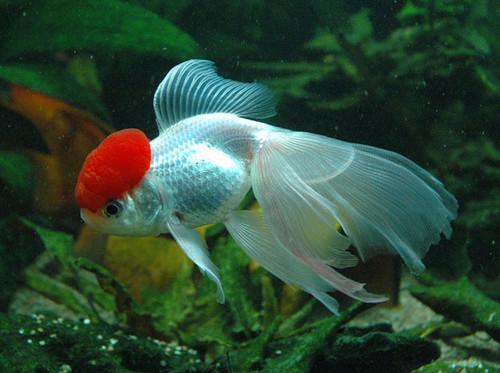 Mis gatitos peces y acuario for Peces goldfish tipos