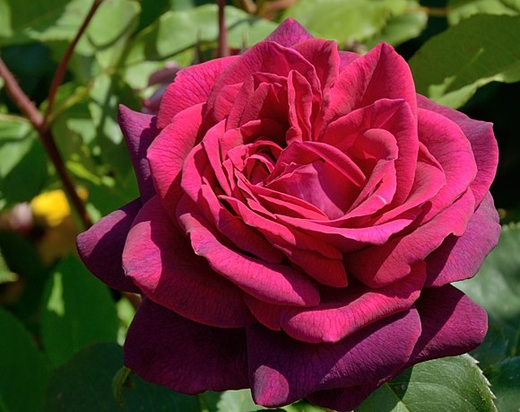 Grafin Diana сорт розы фото Кордес купить саженцы Минск питомник отзывы