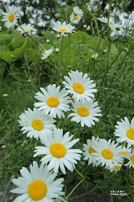 フランスギク ≪Oxeye daisy≫