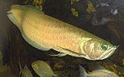 foto ikan arwana terbaru