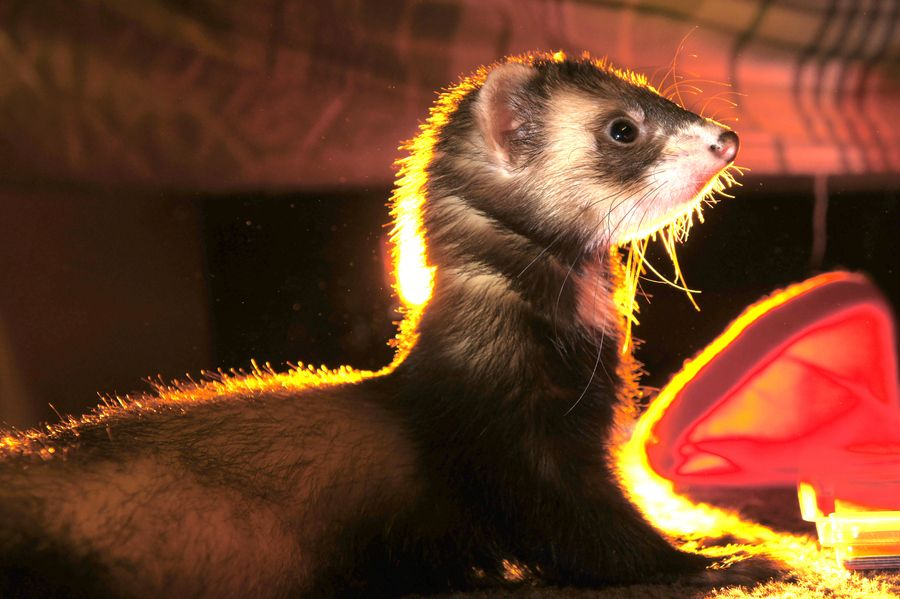 12. Slynky the Ferret by Ryan Lindquist
