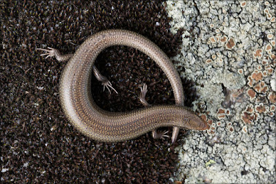 Spanish cylindrical Skink