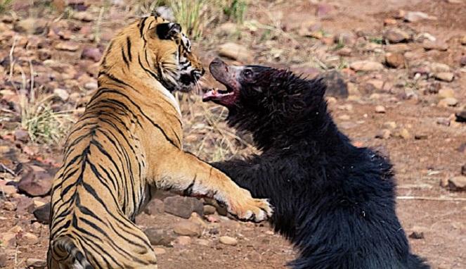 Pertarungan Langka Harimau vs Beruang Hitam, Siapa yang Menang?