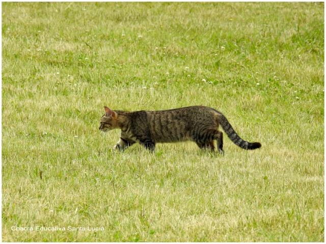 La gata se aleja pero volverá al día siguiente - Chacra Educativa Santa Lucía
