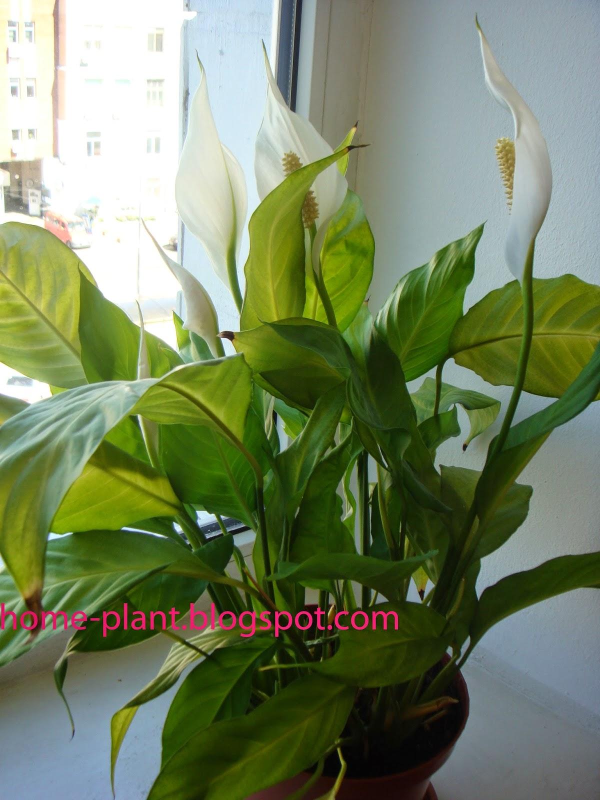 Комнатные цветы а женское счастье
