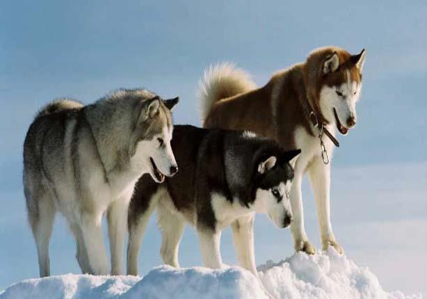 أسعار ومواصفات كلاب الهاسكي 2019