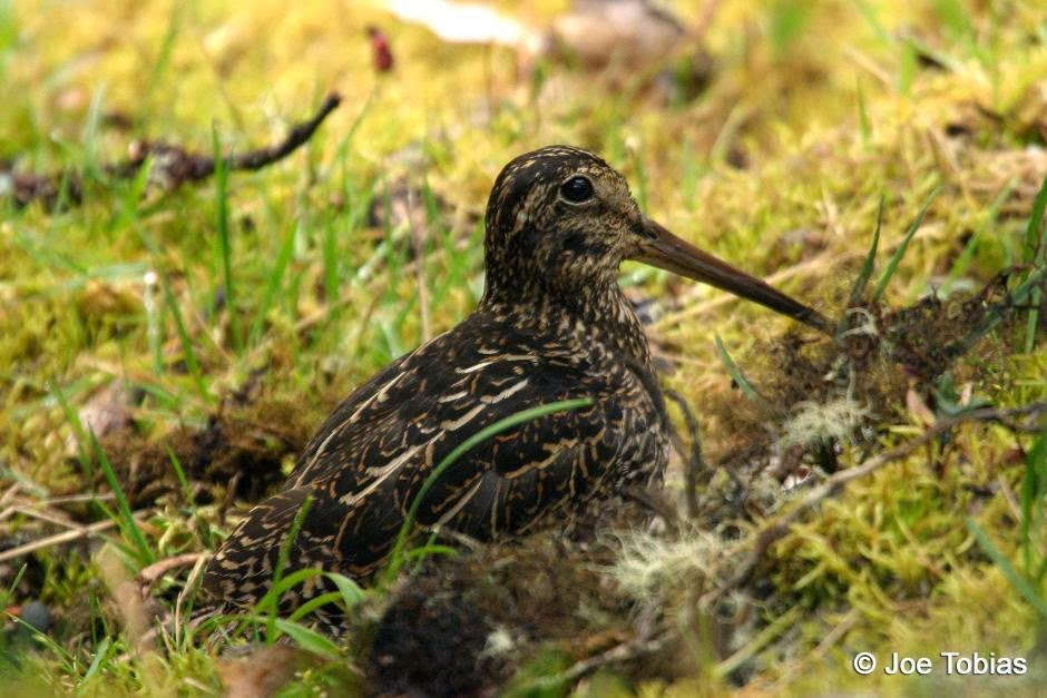 Andean snipe