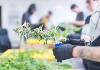 Kanker kolorektal: Para ilmuwan menghentikan pertumbuhan dengan senyawa cannabinoid