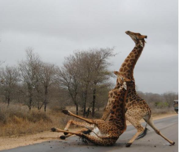 Giraffe Whatsapp Profilbild