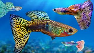 Langkah Budidaya Ikan Guppy Praktis Menguntungkan  Kabar Terbaru- BUDIDAYA IKAN GUPPY
