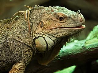 reptiles : iguane