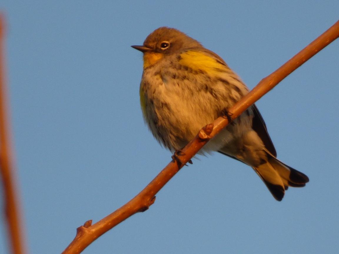 Geotripper's California Birds: Yellow-rumped Warblers in ...