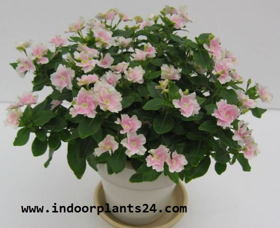 Catharanthus Roseus indoor house plant picture