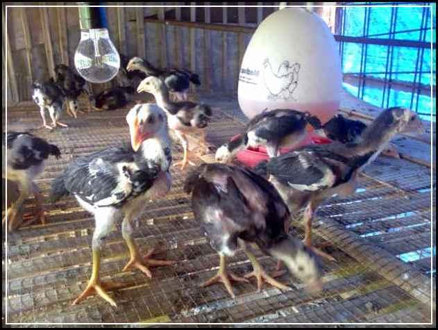 Cara Merawat Ayam Bangkok Dari Anakan Hingga Dewasa