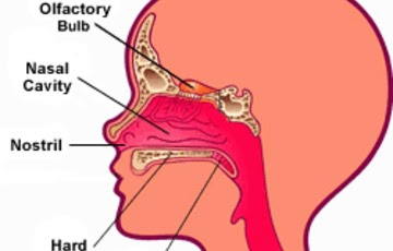 diagram of the human nose : nose diagram - findchart.co