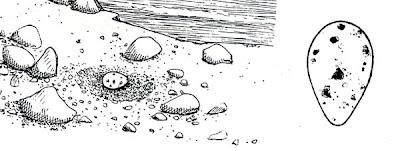 Escúa común Stercorarius chilensis