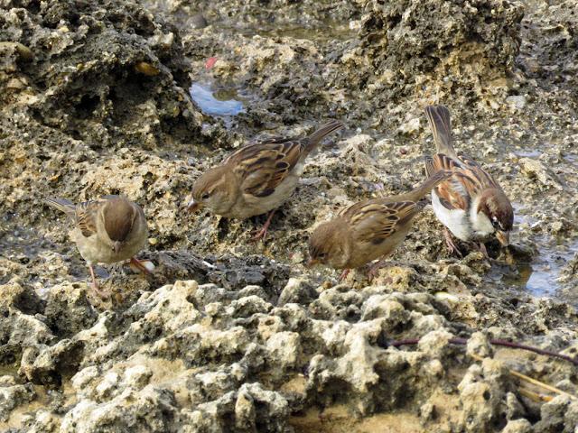 Sparrows on a rock by the sea, Viale Italia, Livorno