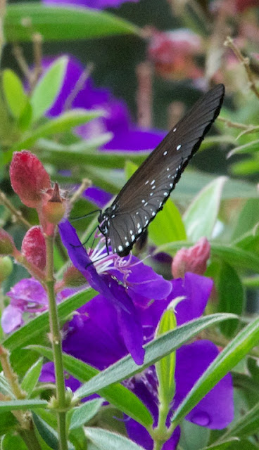 Striped Black Crow (Euploea eyndhovii)