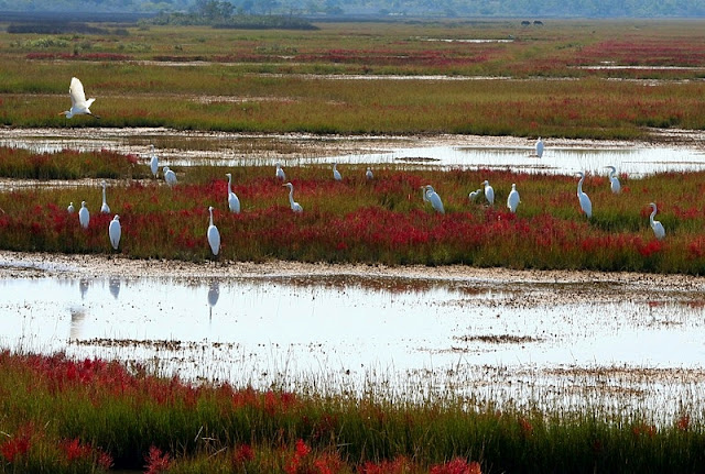 Cranes in the swamp on Assateague Island National Service