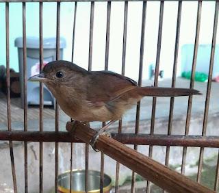 Suara Burung Wergan Jawa Flamboyan Di Alam