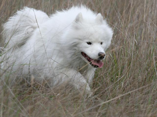 PôPô Samoyed nhận phối giống chó samoyed