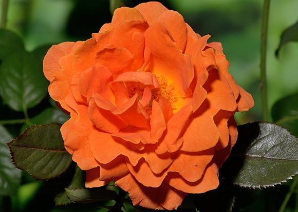 Vavoom rose сорт розы фото
