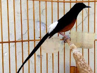 Vitamin Burung Murai Agar Makin Gacor