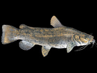 Flathead Catfish Pictures