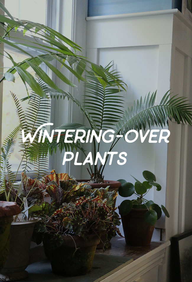 The Art of Over-Wintering Plants, Herbs, Agapanthus and More