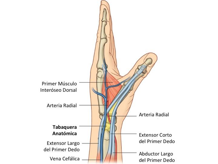 FCM-UNAH Anatomía Macroscópica: Tabaquera Anatómica