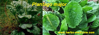 Herbal Viagra use Plantago major