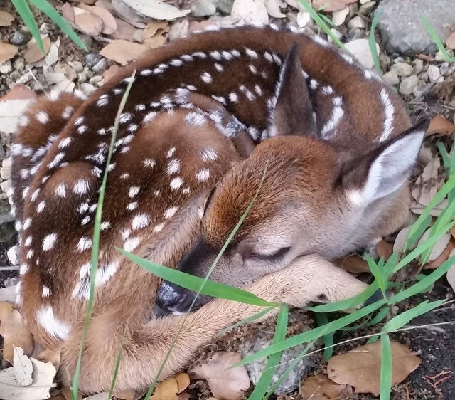 A fawn sleeping peacefully in a ravine