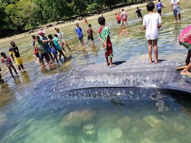 Hiu Paus Sepanjang 8,8 Meter Mati Terdampar di Mansinam