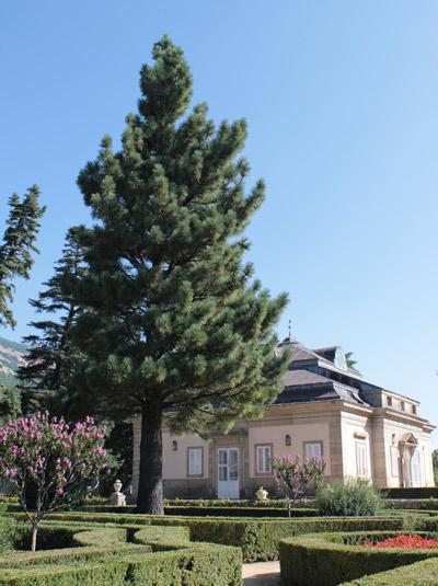 Entorno escorial los rboles singulares de los jardines for Capillas de velacion jardin de los pinos