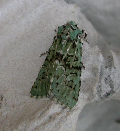 shandy hall moths 19 september 2011 merveille du jour. Black Bedroom Furniture Sets. Home Design Ideas