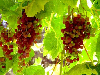 How to take cuttings of grapevines