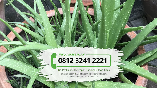 Jual Bibit Herbal Lidah Buaya