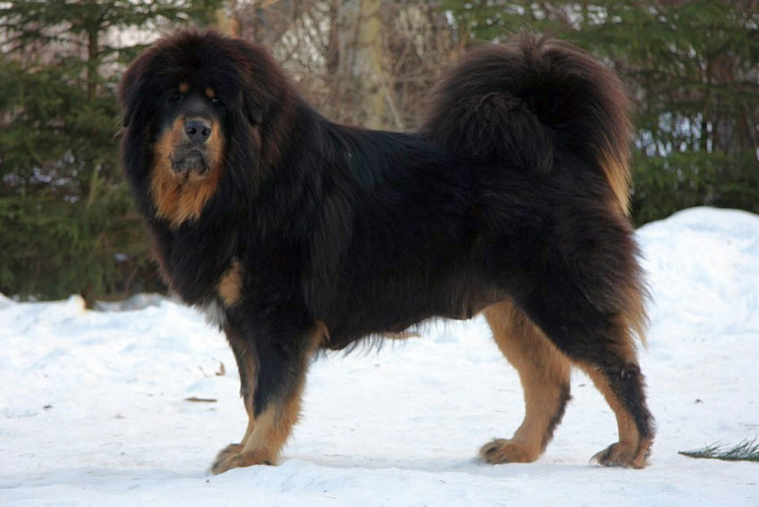 Guardian Dogs Breeds With Least Health Problems