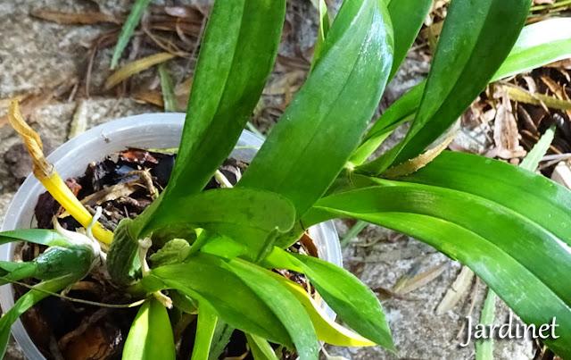 Folhagem da Oncidium Chuva-de-ouro